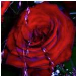Ätherisches Öl Rose
