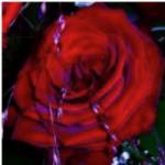 Aromatherapie Rosenöl