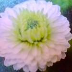 Aromatherapie Kamille