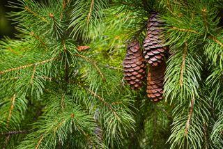 Zedernholzöl-Wrkung u. Eigenschaften