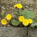 Heilpflanze und Heilkraut Huflattich