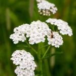 Heilpflanzen Schafgarbe Wirkung u. Anwendung