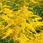 Heilpflanzen Goldrute Wirkung