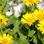 Ringelblume Anwendungsmöglichkeiten