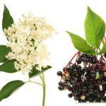 Heilpflanzen Holunder Wirkung