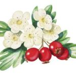 Heilpflanze Weißdorn